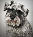 Schnauzer diminuto Fotos de Stock Royalty Free