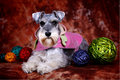 Schnauzer dog Royalty Free Stock Photo