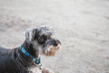 Schnauzer dog looking on blurred cement floor in front of house view background Royalty Free Stock Photo
