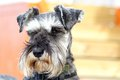 Schnauzer dog a lovely looking pictured looking around Stock Images