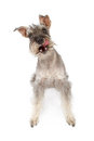 Schnauzer Dog Miniature Licking Lips Royalty Free Stock Image
