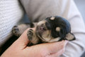 Schnauzer puppy Royalty Free Stock Photo