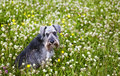Schnauzer sit in grass Stock Photo