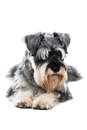 Schnauzer taking a rest lying on the floor facing the camera looking to the side studio portrait on white Royalty Free Stock Photos