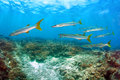 School of Barracuda fish Royalty Free Stock Photo