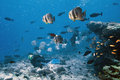 School of bat fish with diver Royalty Free Stock Photo