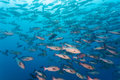 School of black and white snappers Macolor niger, Maldives Royalty Free Stock Photo