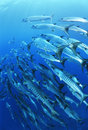 School of blackfin barracuda fish Royalty Free Stock Photos