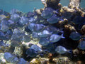 School of Blue Tang, Puerto Rico, Caribbean Royalty Free Stock Images
