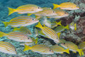 A school of fish underwater inside yellow grouper close up in the deep blue sea Stock Photography