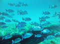 School of fish underwater similan islands thailand Stock Photo