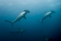 School of hammerhead sharks Royalty Free Stock Photo