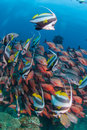 A school of longfin bannerfish swimming alongside red snappers along a coral reef Royalty Free Stock Photo