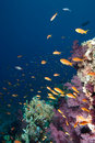 A school of Lyretail anthias Royalty Free Stock Images