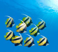 School of Red Sea Bannerfish Stock Image