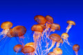 School of sea nettle jellyfish Stock Image
