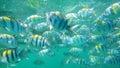 School of Sergant Major fish Royalty Free Stock Photo