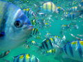 School of sergeant major fish Royalty Free Stock Photo