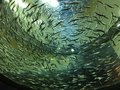A school of small fish swimming in a large tank. Royalty Free Stock Photo