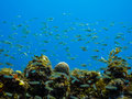 School of small tropical fish on coral reef. Royalty Free Stock Images