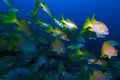 School of snappers, Cayo Largo, Cuba Stock Photography