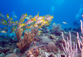 School of snappers cayo largo cuba Royalty Free Stock Photo