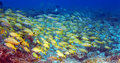 School of snappers cayo largo cuba Stock Images