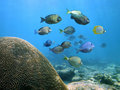 School of Surgeonfish Royalty Free Stock Photo