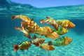 School of tropical fish Rainbow parrotfish