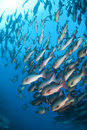 School of tropical Twinspot snapper. Stock Images