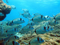 School of two-band sea bream swimming Stock Images
