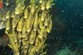 School of yellow fish Royalty Free Stock Photo