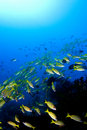 School of yellow snappers over reef. Royalty Free Stock Image