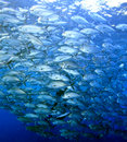 Schooling Bigeye Trevally Royalty Free Stock Photo