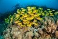 Schooling bluestripe snapper Lutjanus kasmira in Gili,Lombok,Nusa Tenggara Barat,Indonesia underwater photo Royalty Free Stock Photo