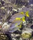 Schoolmaster tropical  fish Stock Images