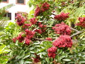 Schotia tree crimson red flowers blooming on a aka fuschia or drunken parrot Stock Photo