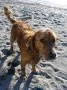 Schuldiger nasser und schmutziger Hund Stockbild