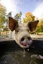 Schwein an der Wasser-Schüssel Stockbild