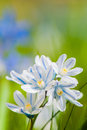 Scilla bloom on nature background Stock Photography