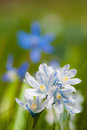 Scilla bloom on nature background Stock Images