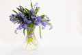 Scilla in vase flower spring blue snowdrop Royalty Free Stock Photography