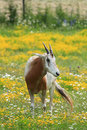 Scimitar-horned oryx Stock Images