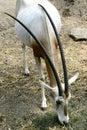 Scimitar-horned Oryx Royalty Free Stock Photography