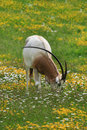 Scimitar-horned oryx Royalty Free Stock Photos