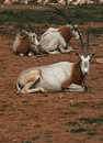 Scimitar horned oryx - African savvanah animal Royalty Free Stock Image