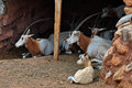 Scimitar horned oryx herd of antelopes resting mammal animal extinct in the wild Stock Photography