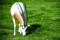 Scimitar horned oryx in the wild this spiral antelope's coat is white with a red brown chest and black markings on Stock Photo