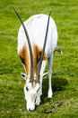 Scimitar horned oryx in the wild this spiral antelope's coat is white with a red brown chest and black markings on Royalty Free Stock Photos