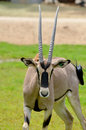 The scimitar oryx or horned dammah also known as sahara is a species of now extinct in wild Royalty Free Stock Image
